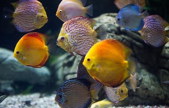 七彩神仙鱼过度紧张怎么办?